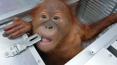 World News - Watch: Baby orangutan rescued from suitcase of would-be smuggler