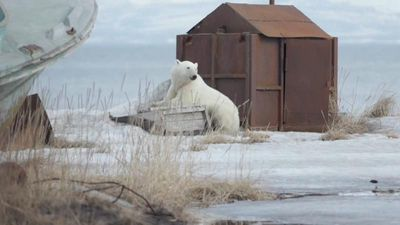 World News - Polar bear arrives back after getting lost 700km from home in Russia