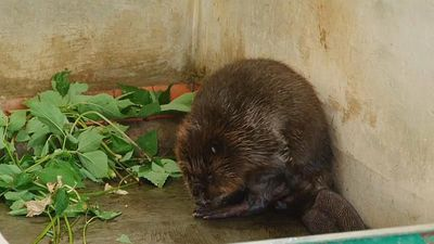 Watch: Russian breeding scheme 'sees beavers recover from near-extinction'