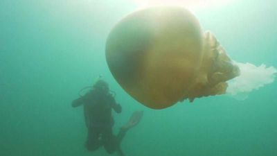Watch: Divers discover human-sized jellyfish off Falmouth coast