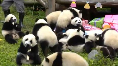 Watch: Panda party in China as 18 cubs celebrate their first birthdays