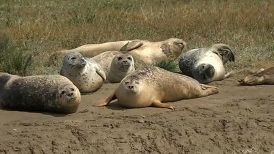 Watch: Promising signs for the Thames's seal population