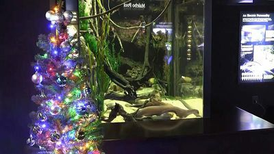 Electric eel lights up aquarium Christmas tree