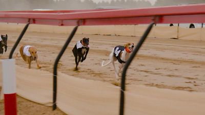 A breed for speed, Salukis in the Gulf race to be top dog