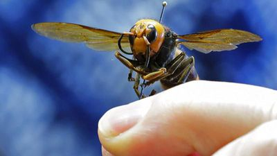 How worried should we be about the 'murder hornet'?