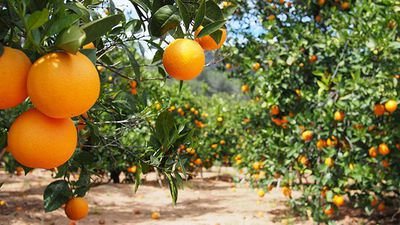 Costa Group tipped to buy Victorian citrus farm