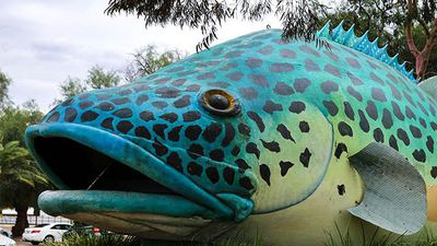 Murray Cod Australia says no effect from Darling River fish deaths