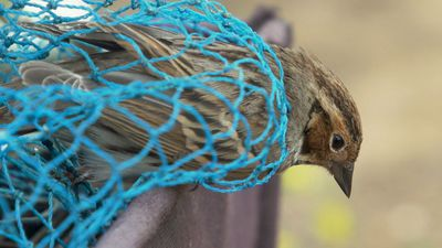 Uncaged: saving China's songbirds from the poachers' nets – video