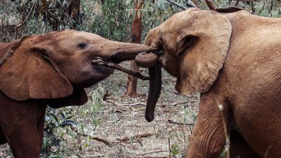 Zimbabwe to ship 33 baby elephants to China