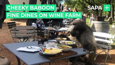 Cheeky baboon fine dines on Cape wine farm