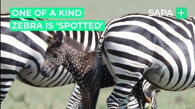"A one of a kind zebra was ""spotted"" in Maasai Mara"