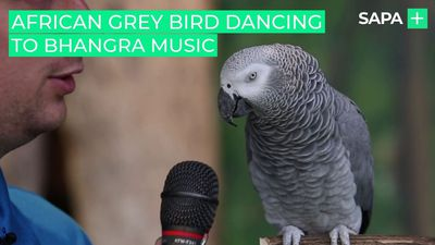 African grey parrot dancing to Bhangra music