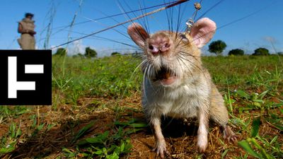 HeroRats Are Saving Human Lives With Their Noses