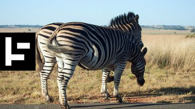 The Mysterious Zebras of California's Highway 1