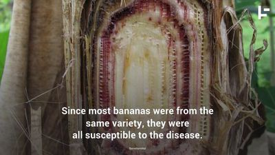Bananas Are Facing Extinction