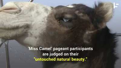 Botoxed Camels Banned From Saudi Beauty Contest