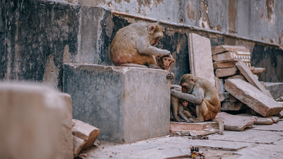 These Monkeys are in an All-Out Gang War