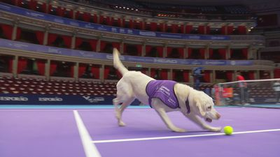 Match-pointer! Ball-dogs step onto the tennis court