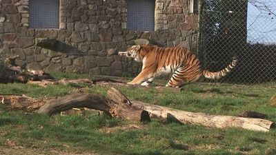 Tiger vs man tug-of-war sparks outrage