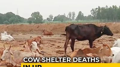 Eight Officers Suspended In UP After Cows Found Dead At Cattle Shelters