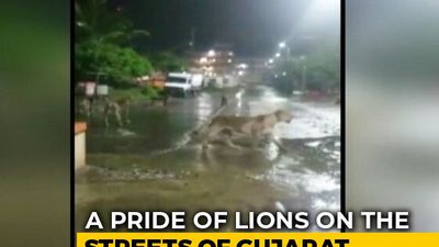 7 Lions Found Roaming In Gujarat's Junagadh, Video Is Viral