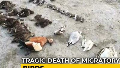 Thousands Of Birds Found Dead At Sambhar Saltwater Lake In Rajasthan