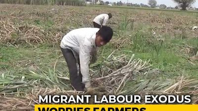 Crop Harvest Suffer As Migrant Workers Return Home Amid Lockdown