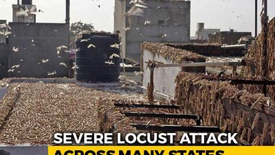 India's Locust Nightmare Spreads To Maharashtra, UP; High Alert In Punjab