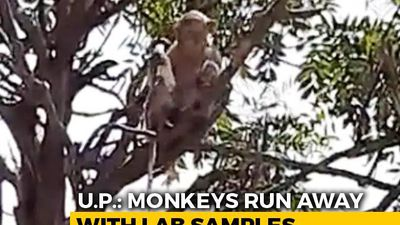Monkey Steals COVID Patients' Blood Samples In UP, Eats Surgical Gloves