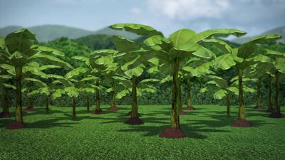 Banana plantations in Colombia threatened by deadly fungus