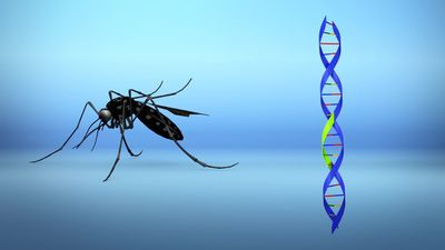 Genetically modified mosquitoes pass on deadly gene to native mosquitoes, study finds