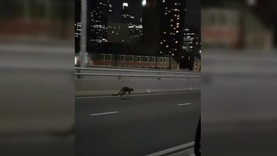 Australian police chase rogue wallaby on Sydney Harbour Bridge