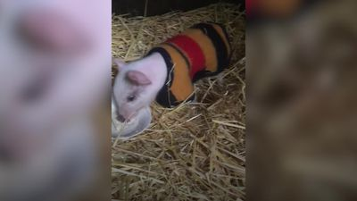 Vegan saves piglet that fell off truck on way to abattoir
