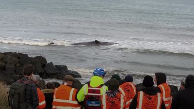 Sperm whale dies on Northumberland shore