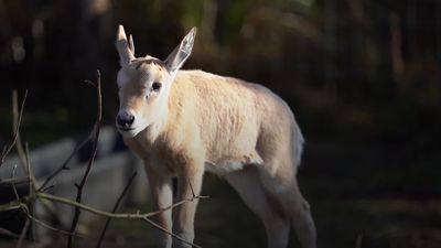 'Extinct' scimitar-horned oryx born at Marwell Zoo