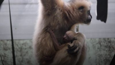Critically endangered gibbon born at Twycross Zoo