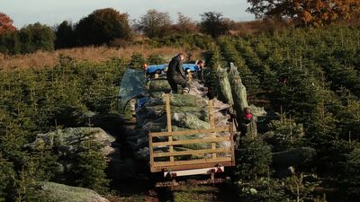 Yorkshire's largest Christmas tree plantation prepares for festive season