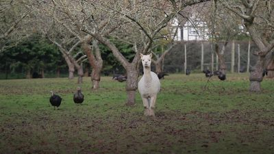 Alpacas guard Christmas turkeys in Cookham