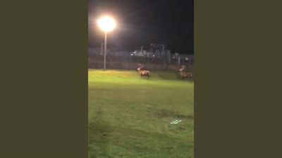 Two stags disrupt training session in Scotland