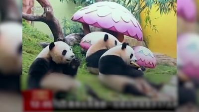 World's only panda triplets get new year treats in China