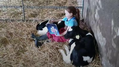 Ireland lockdown: Young girl reads story to calves