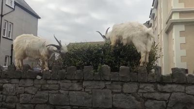 Goats run amok in Welsh town during coronavirus lockdown