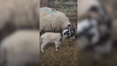 Lamb named Zoom after being born on live group video chat