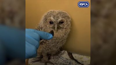 RSPCA rescue baby owl