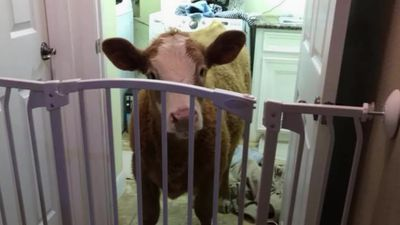 Seven-month-old calf thinks she is a dog