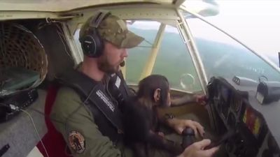 Baby Chimp gets flown to safety