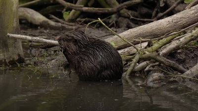 Beavers born in Essex 'for first time since Middle Ages'