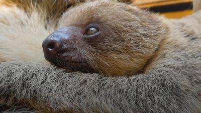 Baby sloth is welcomed to London Zoo