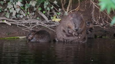 Beavers allowed to stay on River Otter: so what next for the endangered species?