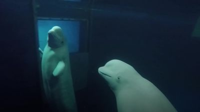 Beluga whales rehomed in sea sanctuary in Iceland